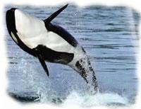 ikan paus biru, makhluk laut paling besar, terbesar, paus pembunuh