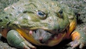 katak raksasa, katak afrika, katak terbesar di dunia
