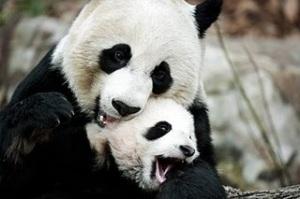 panda, imut, lucu